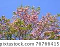 Hanamizuki in full bloom (N) 76766415