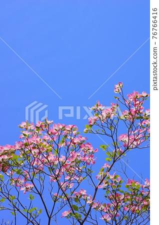 Hanamizuki in full bloom (N) 76766416
