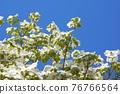 Hanamizuki in full bloom (N) 76766564