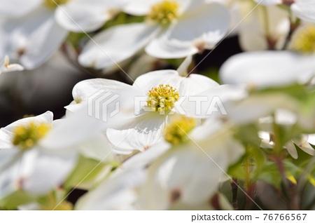 Hanamizuki in full bloom (N) 76766567