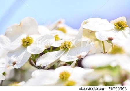 Hanamizuki in full bloom (N) 76766568