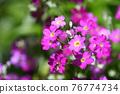 Primula Maracoides 76774734