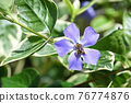 Tunnitzichiensis (Vine Daily grass) 76774876