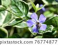 Tunnitzichiensis (Vine Daily grass) 76774877