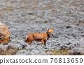 hunting ethiopian wolf, Canis simensis, Ethiopia 76813659