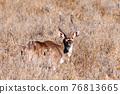 Mountain nyala, Ethiopia, Africa wildlife 76813665