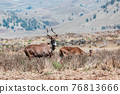 Mountain nyala, Ethiopia, Africa wildlife 76813666