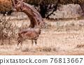 Mountain nyala, Ethiopia, Africa wildlife 76813667