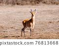 antelope Bohor reedbuck, Bale mountain, Ethiopia 76813668