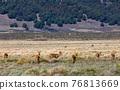 antelope Bohor reedbuck, Bale mountain, Ethiopia 76813669
