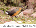 bird Rouget's Rail, Bale Mountain Ethiopia 76813670