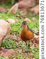 bird Rouget's Rail, Bale Mountain Ethiopia 76813671