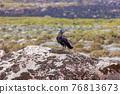 bird Thick-billed raven, Ethiopia wildlife 76813673
