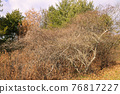 소나무, 솔방울, 열매 76817227