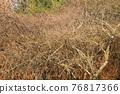 고목, 소나무, 솔방울 76817366