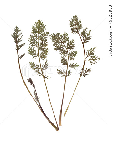 Composition of a carrot tops. Pressed and dried herbs. Scanned image. Vintage herbarium. Isolated on white. 76823933