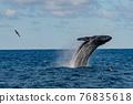 座頭鯨 鯨魚 海 76835618