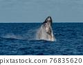 座頭鯨 鯨魚 小笠原 76835620