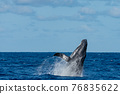 座頭鯨 鯨魚 海 76835622