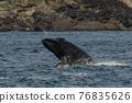 世界遺產 座頭鯨 鯨魚 76835626
