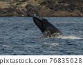 世界遺產 座頭鯨 鯨魚 76835628