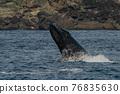 世界遺產 座頭鯨 鯨魚 76835630