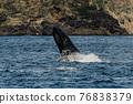 世界遺產 座頭鯨 鯨魚 76838379