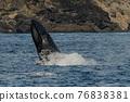 世界遺產 座頭鯨 鯨魚 76838381