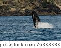 世界遺產 座頭鯨 鯨魚 76838383