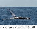 座頭鯨 鯨魚 海 76838386