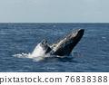 座頭鯨 鯨魚 海 76838388