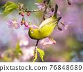 從河津櫻花樹吮吸蜂蜜的藥 76848689