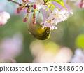 從河津櫻花樹吮吸蜂蜜的藥 76848690