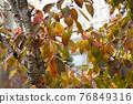maple, Maple, autumn 76849316