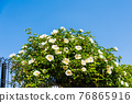 white camellia, tender green, verdure 76865916