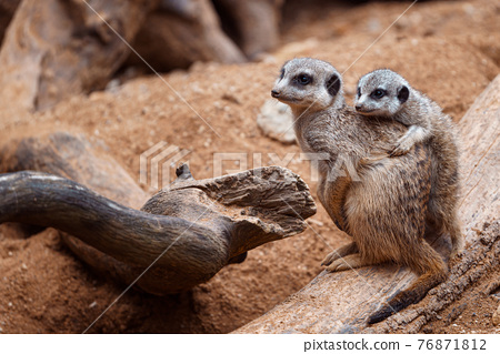 Mother meerkat with baby on guard sitting on a wood piece. Meerkat or suricate adult and juvenile. 76871812