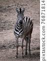 Chapman's zebra, Equus quagga chapmani, standing on dry soil 76871814