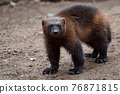 Siberian wolverine Gulo Gulo in nature 76871815