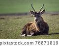 Red deer, cervus elaphus, lying in the meadow 76871819