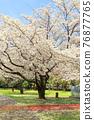 벚꽃 76877765