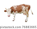Cow isolated on white. Talking, Funny curious spotted cow. standing full-length in front of white background. Farm animals 76883665