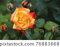 Orange and pink rose head and buttons in green blurry natural background close up. Bright blooming rose head fully open in flower garden. 76883668