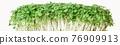 Freshly grown microgreen arugula isolated on white background close-up 76909913