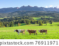 Cows on a meadow on the background of the Tatra Mountains 76911971