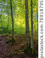 beech forest in summer. deciduous trees in morning light. beautiful nature background 76918795