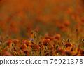 Poppy flowers field at sunset or sunrise 76921378