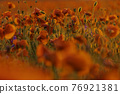 Poppy flowers field close-up and macro 76921381