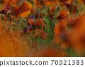 Poppy flowers field close-up and macro 76921383