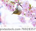 河津櫻花和mezzo 76928357