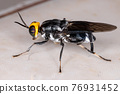 Adult Soldier Fly 76931452